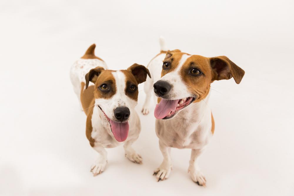 Jack Russell Dog portrait Brisbane