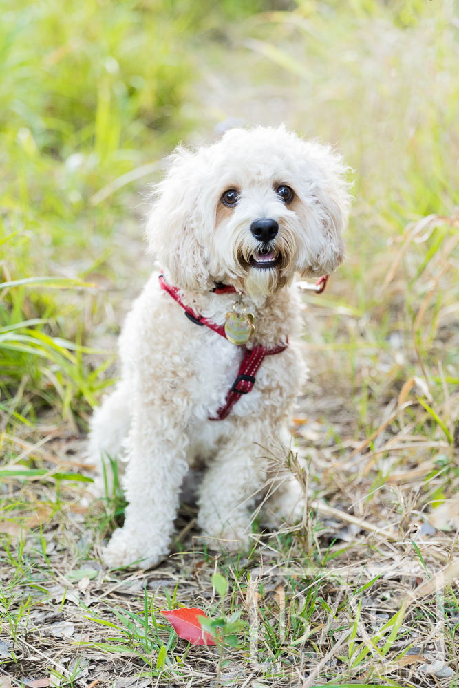 dog portrait outdoor Mungarra Reserve