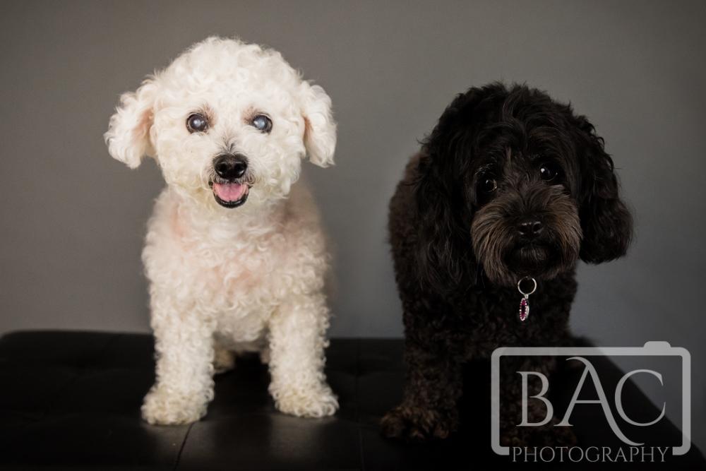 pet portrait black and white dogs