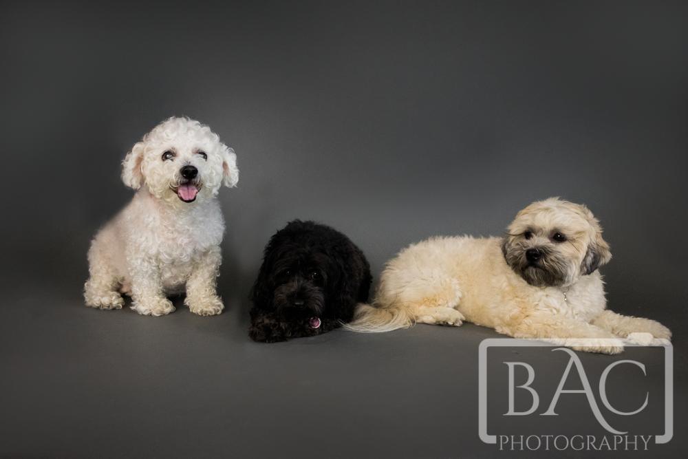 pet portrait in studio dogs
