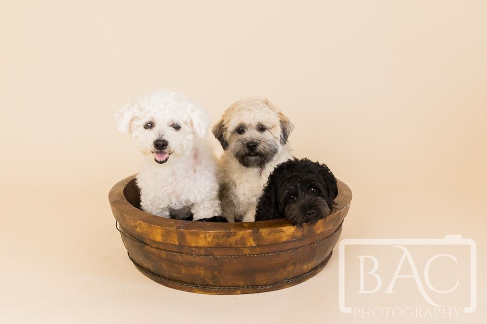 3 dogs in basket pet portrait