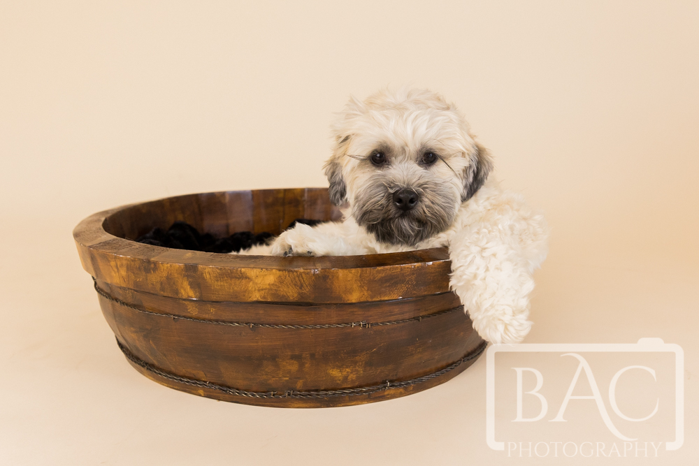 pet portrait dog in basket