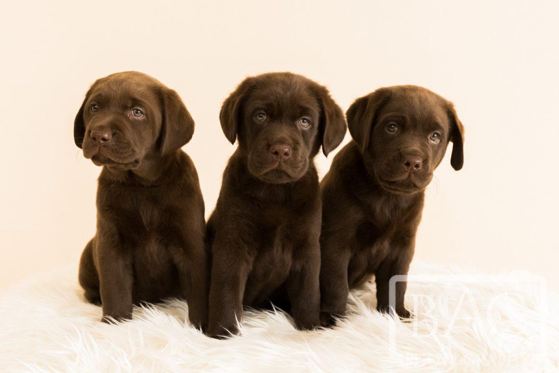 three chocolate labrador puppies portrait