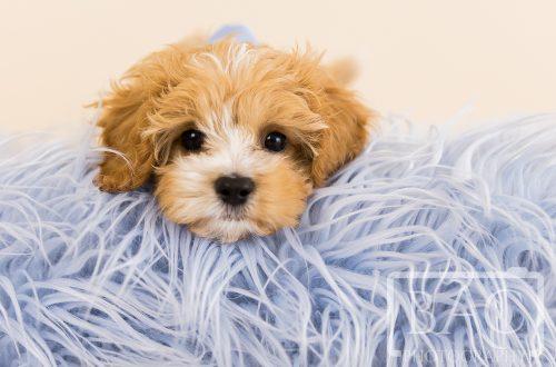 cavoodle puppy on blue shaggy rug studio portrait
